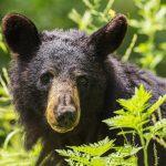 bear hunting in michigan