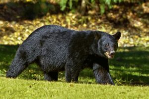 black bear hunting in michigan