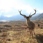 iberian red deer